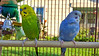 2017-09-19_09-00-03_00002 (Railfan-Eric) Tags: budgie parakeet budgerigar birds