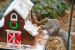Munching on a rainy day.... (ineedathis, Everyday I get up, it's a great day!) Tags: easterngraysquirrel sciuruscarolinensis treesquirrel eating garden 2017gingerbreadhouse roof royalicing gingerbreadhouse christmas miniature sugarwork modeling baking nikond750 glitter winter outdoor gumpaste
