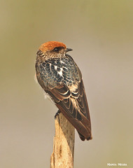 Streak throated Swallow (Mamta Megha) Tags: bird birds india mangalajodi odisha orissa wetlands canond70 tamron150600 passerine swallow streak throated