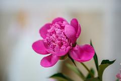 Pink peony (Raoul Pop) Tags: spring peony color flowers plants large medias transilvania romania ro