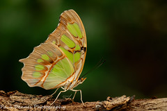 Malachite ..Siproeta staleness (minar5) Tags: posscomp bflybutterfly insect nikon nature wales tamron macro close up