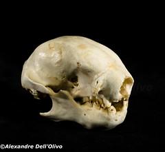 Sloth?_DSC0699 (achrntatrps) Tags: crânes skulls bones os animals nikkor d800 pce45mmf28 alexandredellolivo suisse lachauxdefonds lycéeblaisecendrars collection sb900 sb800 achrntatrps achrnt atrps photographe photographer flash