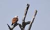 Brahminy kite (praveen.ap) Tags: brahminy kite brahminykite redbacked seaeagle redbackedseaeagle masinagudi moyardam moyar mudumalai mudumalaitigerreserve