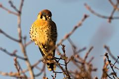 American Kestrel  (Falco sparverius) (Brown Acres Mark (always 2 days behind)) Tags: americankestrel falcosparverius emigrantlake jacksoncounty oregon usa markheatherington