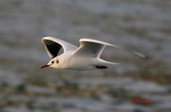 Gaviota reidora MG_7049 (Julian Munilla Rio) Tags: gaviota pájaro agua oceano mar ave