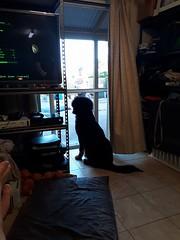 26638064_1182121775256912_1592902403_n (natedetienne) Tags: ash tibetan mastiff puppy tm