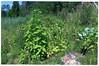 Waldgarten SF - 1 (Gerhard Martin) Tags: permakultur permaculture waldgarten waldgärten waldgärtnern garten gärten bio biobauer biogärtner bioanbau selbstgemacht selbstversorger selbstversorgung anbau gemüsebauer gemüse gemüsesorten gemüsegärtner jungesgemüse obst früchte frucht fruits fruit vegetables légumes légume vegetable nüsse nus nuss nuts noix getreide cereal organic organicfarming peasant paysant paysants peasants bauern bauer pflügen pflug pflugschar gepflügt pflüge pferd pferdestärke 1pferdestärke pferdestärken horsepower forestgardening forestgarden 3dimensionalgarden 3dimensionalergarten 3dimensionalgardens 3dimensionalegärten wildwuchs wildgärten wildgarten wildgärtnerei waldgärtnerei gärtnern