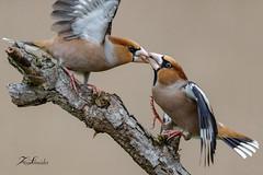 Grosbec casse-noyaux (sfrancois73) Tags: oiseau faune affût grosbeccassenoyaux jardin