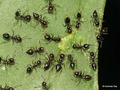 Saint Valentine ants, Crematogaster sp. (Ecuador Megadiverso) Tags: andreaskay ant crematogastersp ecuador formicidae hymenoptera saintvalentine
