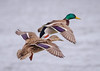 Mallard Pair landing (tresed47) Tags: 2018 201801jan 20180131eastmarylandbirds birds cambridge canon7d content ducks folder mallard maryland pennsylvania peterscamera petersphotos places season takenby us winter ngc npc