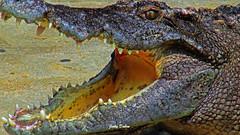 keeping cool….. (Jinky Dabon) Tags: canonpowershotsx170is reptile jaws crocodile crocodilian crocodylidae carnivores carnivorous alligator