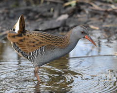Water Rail (mikedenton19) Tags: water rail waterrail rallus aquaticus rallusaquaticus bird rotherham southyorkshire yorkshire wildlife nature