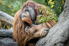 Eating Biscuits and Watching (helenehoffman) Tags: greatape wildlife conservationstatuscriticallyendangered primate nature satu orangutan indonesia pongoabelii sandiegozoo sumatra mammal animal