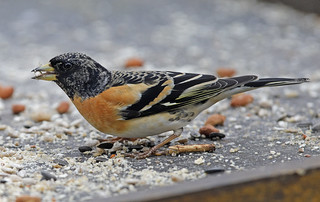 BRAMBLING....Powys....Garden shot taken through the window...There were four females and this male....Last Image for a while, be back in about two weeks...Click on picture for more detail..