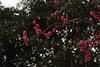 IMG_1674 (okiee8125) Tags: 梅の花