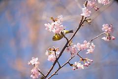 _DSC0793.jpg (plasticskin2001) Tags: mejiro sakura flower bird