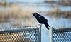 American Crow (Black Hound) Tags: bird bombayhooknwr americancrow crow sony a500 minolta