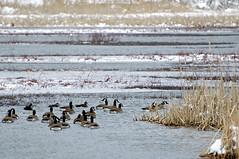 Winter Wetlands (pecooper98362) Tags: binghamton newyork broomecounty fallonroad wetlands thomascreek marsh winter cold winterwetlands geese canadageese brantacandensis crategeese cattails typha water ice bolandpond