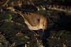 196.jpg (Kico Lopez) Tags: mosquiterocomún miño lugo aves galicia birds phylloscopuscollybita spain rio