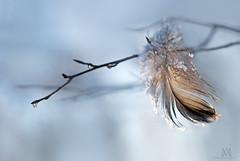 someone is a bit colder today (marianna_armata) Tags: winter duck feather hanging branch ice frozen water drops bokeh macro mariannaarmata blue delicate details macromondays fiction novel story