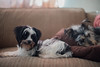 The Nappers (Rushay) Tags: animals dogs eyes grahamstown nap pets southafrica stare watching yorkie