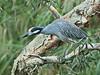 Yellow-crowned Night-Heron 01-20180114 (Kenneth Cole Schneider) Tags: florida miramar westmiramarwca