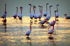 ___ riflesso preserale ___ (erman_53fotoclik) Tags: riflesso preserale uccelli trampolieri fenicotteri rosa fauna panasonik dmc tz25 erman53fotoclik flamingos acqua scena