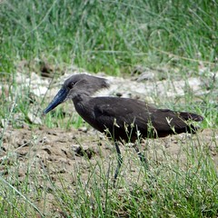 Hamerkop (leo.compan) Tags: bird africanbird waterbird namibie namibia grass water africa