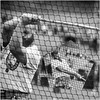 Hammer Thrower (FotoFling Scotland) Tags: kilt games cowal male sport