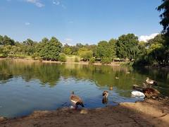 Urban Parks (Rckr88) Tags: zoolake lake lakes water reflections reflection park parks green greenery garden gardens duck ducks bird birds gauteng johannesburg jhb south africa southafrica nature outdoors travel