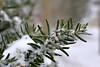 To Be Evergreen ... (vanessa violet) Tags: needle evergreen green tree snow cold winter nature tobeevergreen snowflake strengh determination spirit