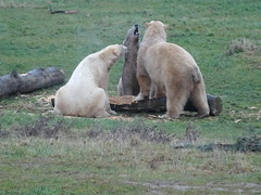 I think Nobby's ready for a break, Pixel (Nissan) (LadyRaptor) Tags: yorkshirewildlifepark yorkshire wildlife park doncaster ywp nature outdoors winter grass branches log logs lumber timber wood play playing carving digging sculpting woodwork carpentry toy toys enrichment happy content relaxed fun besties best friends bffs buddies pals friendly cute animal animals predator carnivore caniformia ursidae polarbear polarbears male males polar bear bears ursusmaritimus projectpolar pixel nissan nobby