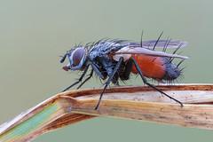Eriothrix sp. (Cristian Arghius) Tags: canoneos5dmarkii canonmpe65mm rrstp243tripod arcaswisscubetripodhead zerenestacker macro naturallight focusstack insect fly eriothrix