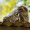 """I know I'm famous, but all those paparazzi bug me a lot!"" (André Schlüter Photography) Tags: berberaffe magot macacasylvanus makake naturzoorheine funny lustig nikon d750 zoo affe monkey"