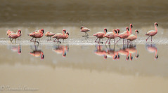 flamencos en sepia 2 (1 de 1) (barragan1941) Tags: aerogeneradores africa aves fauna flamenco flamencos gorongoro reflejos tanzania zancudas