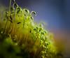 Hillside Sporophytes (Don White (Burnaby)) Tags: 10mm extensiontube flowersplants macro nw524 nikon50mm18d bokeh moss sporophytes