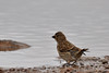 Linotte mélodieuse - Common Linnet (Linaria cannabina) (Ziza !) Tags: oiseau bird linottemélodieuse linotte commonlinnet linariacannabina