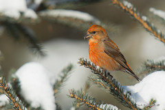 Red Crossbill male (Earl Reinink) Tags: bird animal winter trees snow cold finch crossbill redcrossbill beak branch earl reinink earlreinink outdoors red azrduaudza