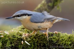 NUTHATCH (_jypictures) Tags: animalphotography animals animal canon7d canon canonphotography wildlife wildlifephotography wiltshire nature naturephotography photography pictures birdphotography bird birds birdwatching birding birdingphotography birders nuthatch
