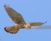 Kestrel (Gary Chalker, Thanks for over 3,000,000. views) Tags: kestrel birdofprey bird pentax pentaxk3ii k3ii pentaxfa600mmf4edif fa600mmf4edif fa600mm 600mm