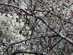 Branches And Blossoms. (dccradio) Tags: lumberton nc northcarolina robesoncounty outside outdoors branch branches tree trees treebranches treelimb treelimbs stick sticks blossoms bloom peartree decorativepeartree spring springtime earlyspring nature natural beauty beautiful pretty sunday afternoon sundayafternoon goodafternoon canon powershot elph 520hs photooftheday project365 photo365 floral flower flowers flowering floweringtree