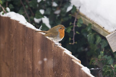 Robin Red Breast (smifyyy) Tags: robin red breast robinredbreast bird animal birds turdusmigratorius muscicapidae passeriformes aves garden snow winter spring feeder food ice snowing weather warning uk unitedkingdom england fence fencing wood wooden urban rural countryside backyard