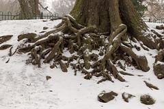 Frosted roots | CP Snow | Feb 2018-48 (Paul Dykes) Tags: crystalpalace uksnow londonsnow london england uk gb unitedkingdom crystalpalacepark