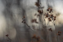 Winter bokeh (agnieszka.a.morawska) Tags: focus manualfocus manuallens oldlens bkhq dof beyondbokeh bokehlicious helios44m helios beautiful winter bokeh
