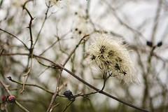 Fluffy - North Downs, Guildford (picstarics) Tags: plants plant macro winter guildford north downs way walk