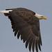Bald eagle- French creek (Dave Pley Photos) Tags: