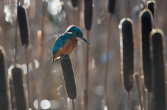 Kingfisher Bokeh (Tim Melling) Tags: alcedo atthis kingfisher timmelling