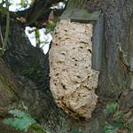 Bird nesting box commandeered by hornets thumbnail