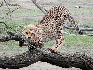 Cheetah cub on branch 1