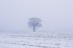 Beständigkeit im Nebel (Lilongwe2007) Tags: tremsbüttel baum natur landschaft winter schleswig holstein schnee eis januar feld landwirtschaft nebel dunst solitär eichen